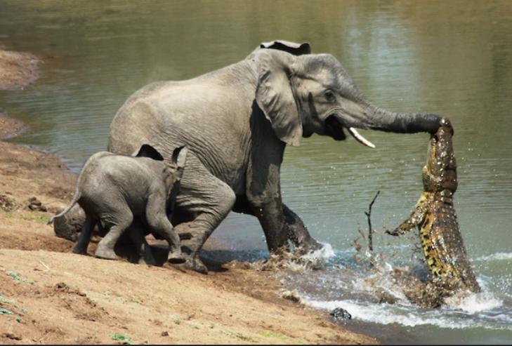 Զամբիայում մայր փիղը սատկացրել է իր ձագի վրա հարձակված կոկորդիլոսին (տեսանյութ)