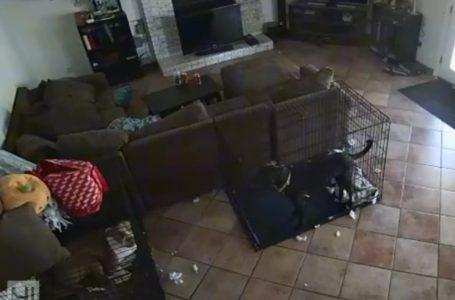 Տեսախցիկն արձանագրել է, թե ինչպես է «անտեսանելի ձեռքը» հանում շան վզակապը (տեսանյութ)